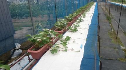 カサネン工業-イチゴ栽培